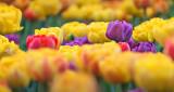 2016 Tulip Festival P1060320