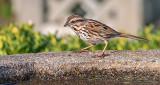 Song Sparrow P1060413