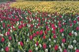 2016 Tulip Festival P1060380
