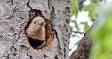 Northern Flicker In A Tree DSCF9601