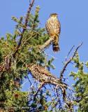 Two Merlins In A Pine Tree DSCF9626
