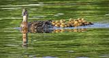 Duck & Ducklings DSCF9816