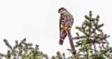 Merlin Atop A Pine DSCF9849