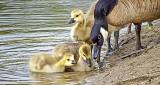 Goslings & Goose DSCF9987
