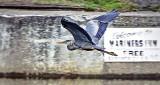 Heron In Flight DSCF10090