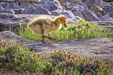 Gosling On The Rocks DSCF10140