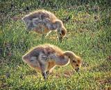Two Grazing Goslings DSCF10143