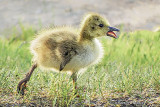 Gosling On The Run DSCF10488