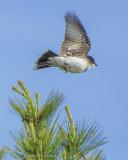 Kingbird In Flight DSCF10638
