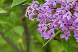 Lilac Blossoms P1070480-1