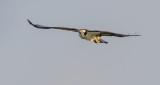 Osprey In Flight P1070098
