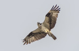 Osprey In Flight P1070092