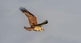 Osprey In Flight P1070084