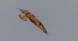 Osprey In Flight P1070082