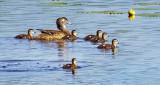 Wood Duck Hen & Chicks DSCF10802