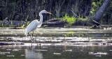 Great Egret Hunting DSCF10831-3