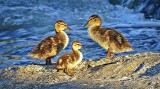 Three Ducklings DSCF11026.32