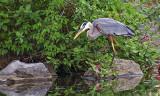 Heron Stalking DSCF11185