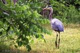 Heron On Land DSCF11139