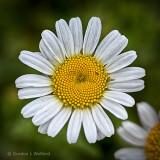 Wild Daisy P1070750
