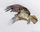 Osprey In Flight DSCF11347