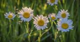 Backlit Wild Daisies P1070821