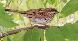 Sparrow On A Branch DSCF11553-4
