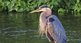 Great Blue Heron DSCF11879