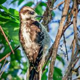Hairy Woodpecker On A Vine_DSCF12275