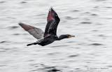 Cormorant In Flight DSCF12585