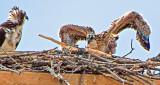 Osprey Nestling Spreading Its Wings DSCF12804