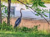 Heron Beside The Canal DSCF12918-20