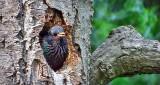 Starling In A Flicker Hole DSCF12948-50
