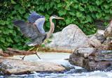 Heron Taking Flight DSCF13355