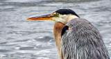 Heron Up Close DSCF13544