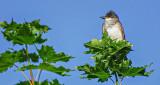 Kingbird In A Treetop DSCF13188