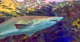 Shark P1080859
