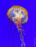 Jellyfish P1080919