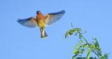 Cedar Waxwing Taking Flight DSCF13752