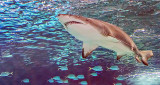 Shark P1080875