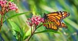 Monarch Butterfly DSCF14202