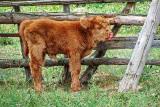 Calf Licking Its Nose DSCF14388-9
