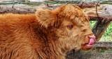 Calf Licking Its Nose DSCF14388-9 (crop)