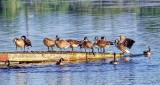 Geese On A Dock DSCF14459