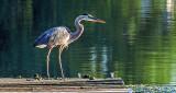 Heron On A Dock DSCF14222