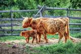 Calf & Cow DSCF14418-20