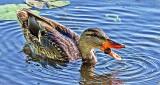 Duck Chowing Down DSCF14757