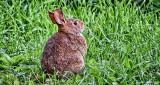 Rabbit In The Grass DSCF14978-80
