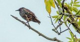 Starling On A Branch DSCF21654