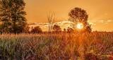 Cornfield Sunrise P1100977-83